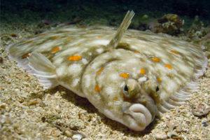 معلومات عن السمك المفلطح