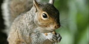 حيوان السنجاب