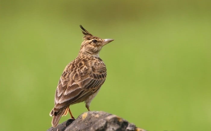 الطيور المغردة