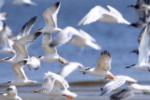 طيور البحر