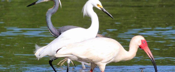 طيور المستنقعات والسبخات