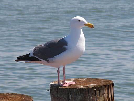 طيور نوارس