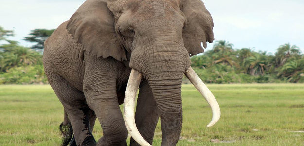 معلومات عامة عن حيوان الفيل