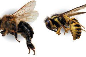 النحل والزنابير (الدبور)