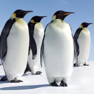 معلومات عن حيوان البطريق
