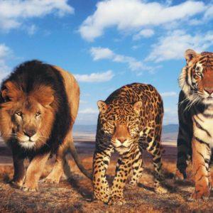 السنوريات الكبيرة أو القطط الكبيرة