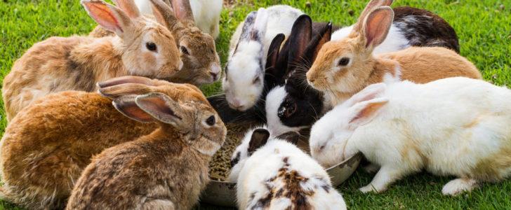 معلومات عن الأرانب