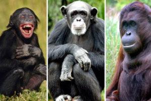 معلومات عن القردة العليا
