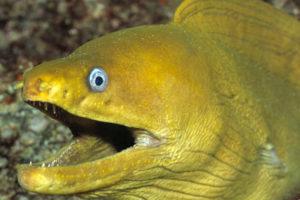 معلومات عن سمك الأنقليس