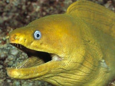 سمك الأنقليس