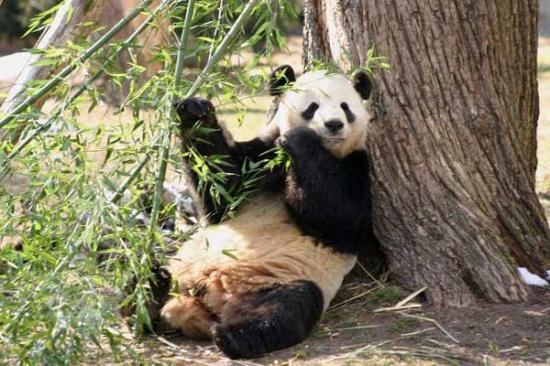 معلومات عن حيوان الباندا معلومات عنها طرق العيش الغذاء بيئتها التربية المنزلية و التكاثر أكبر موضوع شامل