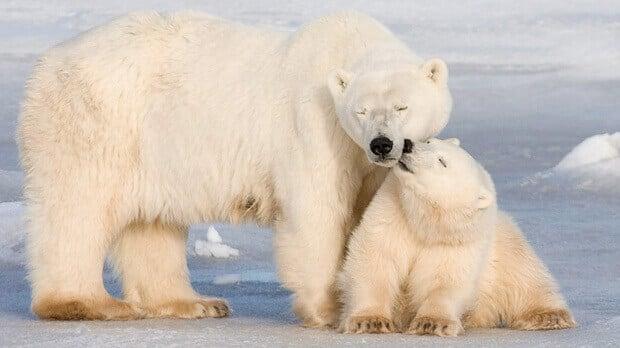 صغار الدب القطبي