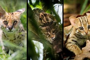 القطط البرية (السنوريات الصغيرة)