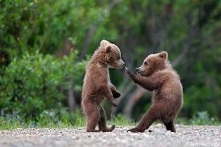 صغير الدب