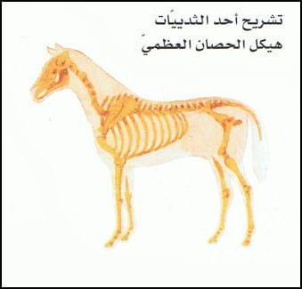 هيكل الحصان