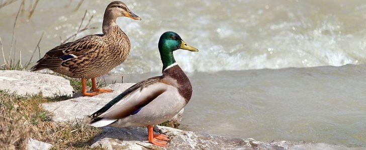 الفرق بين البط و الإوز