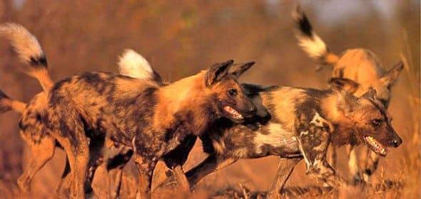 الكلاب البرية