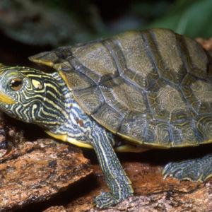 أنواع السلاحف وأسماؤها