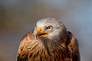 الطيور الجارحة وأنواعها