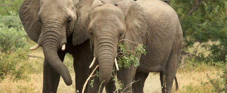 فيل الغابات الأفريقي