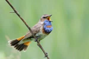 لماذا تغرد الطيور وتصدر أصواتا