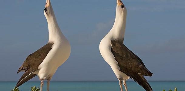التودد عند الطيور