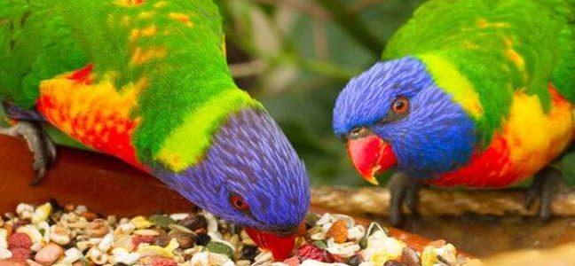 طيور الزينة بأنواعها