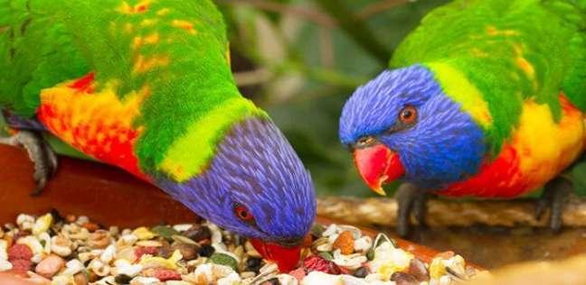 أنواع طيور الزينة معلومات عنها طرق العيش الغذاء بيئتها التربية المنزلية و التكاثر أكبر موضوع شامل