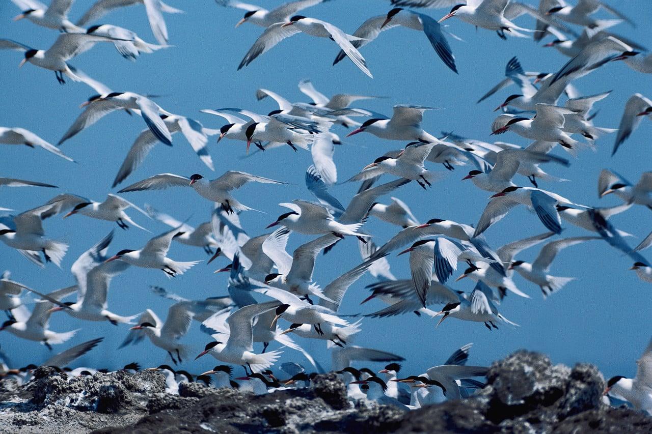 هجرة طيور الخرشنة