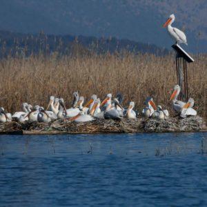 الطيور المائية