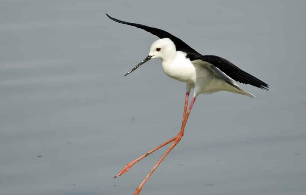 طائر المطوال
