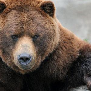 أضخم الدببة في العالم