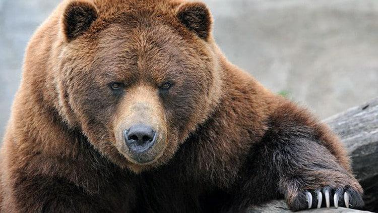 أضخم الدببة