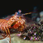 انواع القشريات البحرية