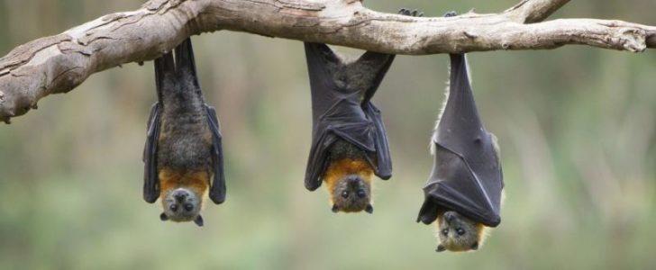 الثدييات الطائرة