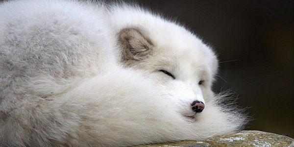 معلومات عن الثعلب القطبي