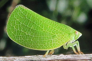 الحشرات النباتية وأنواعها