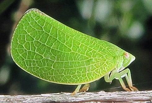 الحشرات النباتية