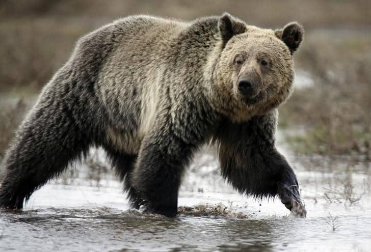 ولاية مونتانا الامريكية تحمي موطن الدب الأشيب