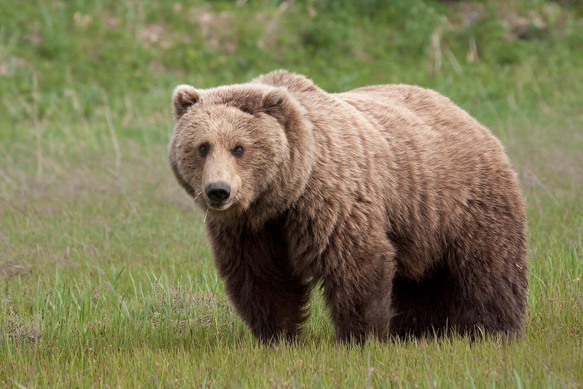 الدب الاسمر