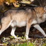 معلومات عن حيوان الذئب