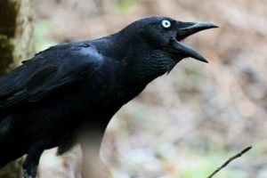 ما هي طيور الجواثم