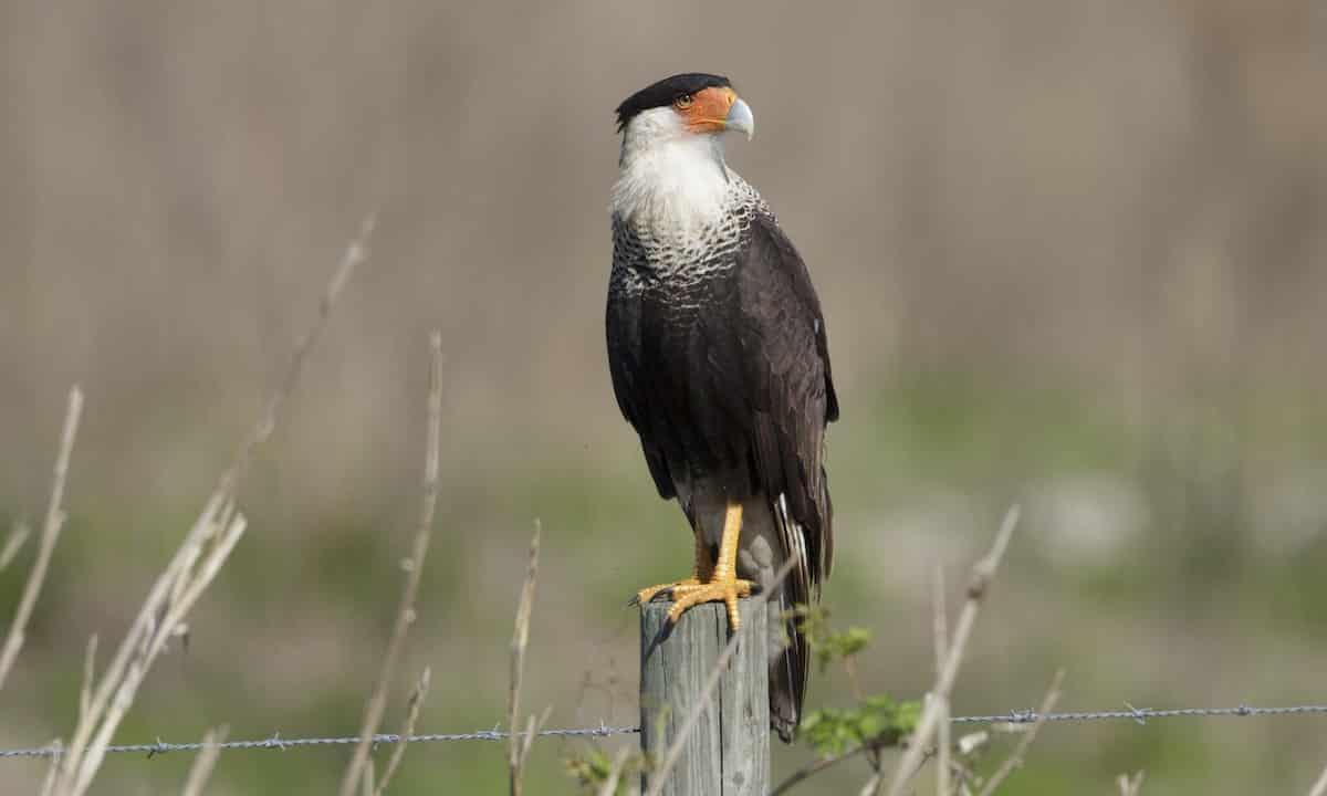 الطيور الجارحة الصغيرة معلومات عنها طرق العيش الغذاء بيئتها التربية المنزلية و التكاثر أكبر موضوع شامل