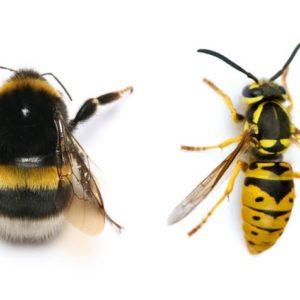 الفرق بين النحلة و الدبور (الزنبور)