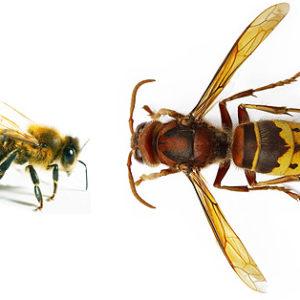الفرق بين النحل والدبور