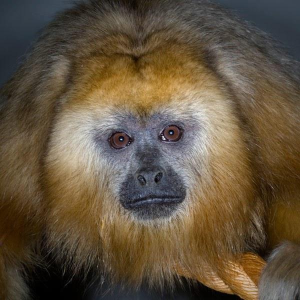انواع القرود