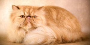 معلومات عن قطط الشيرازي