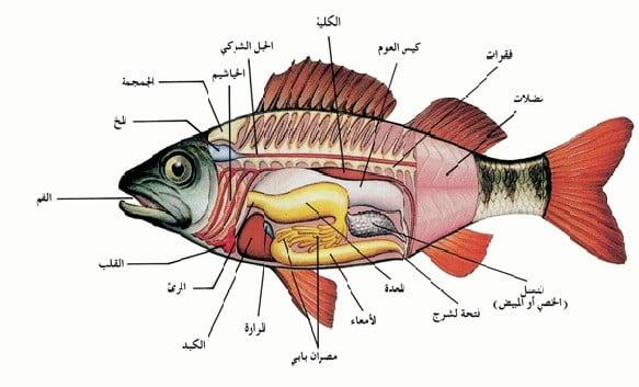 تشريح سمكة