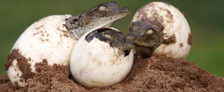 التكاثر عند التمساح