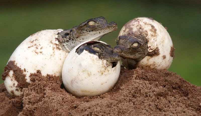 تكاثر عند التمساح